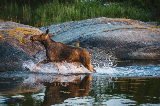 Avond Wildlife Safari nabij Stockholm