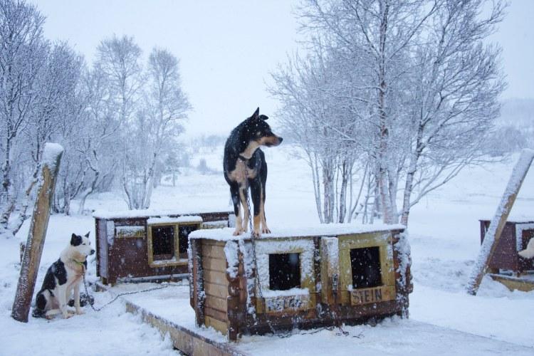Halve dag hondensledetocht Tromsø