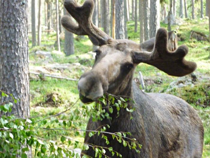 Wildlife Safari Sörsjön Dalarna centraal Zweden