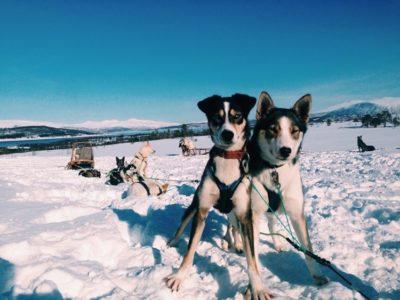 Voorjaars hondensledetocht vanuit Tromsø Noorwegen